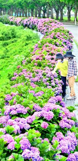 狐川の堤防沿いで鮮やかに咲くアジサイ=7月3日、福井市東下野町