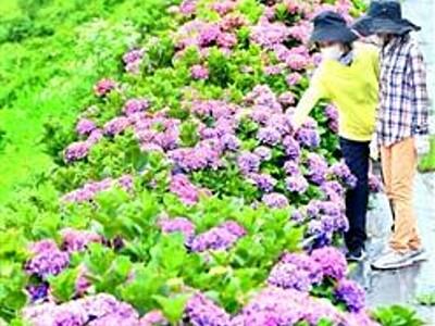 堤防彩る花の帯 「あじさいロード」見頃 福井