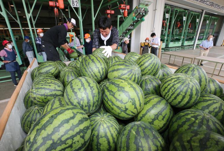 生産者が運び込んだ艶やかなスイカ=5日、松本市波田の松本ハイランド農協すいか共選所