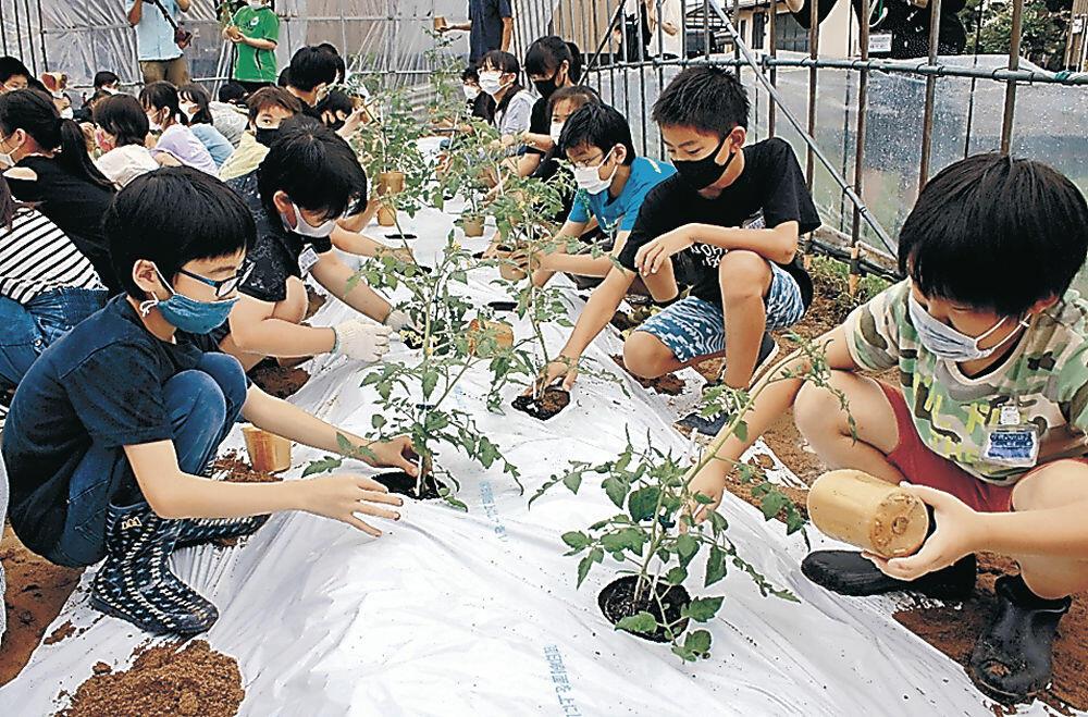 トマトの苗を植える児童=小松市向本折小
