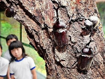 昆虫の王様カブトムシ堂々 福井で次々羽化