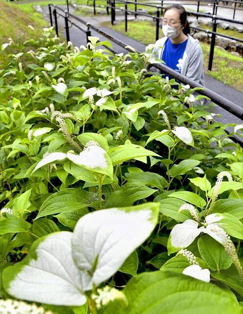 葉が半分白く色づき始めたハンゲショウ=7月7日、福井県美浜町佐柿