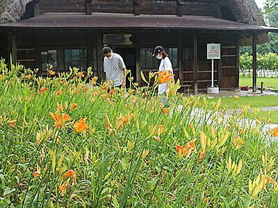 ヘメロカリス梅雨に映える 小杉・太閤山ランド