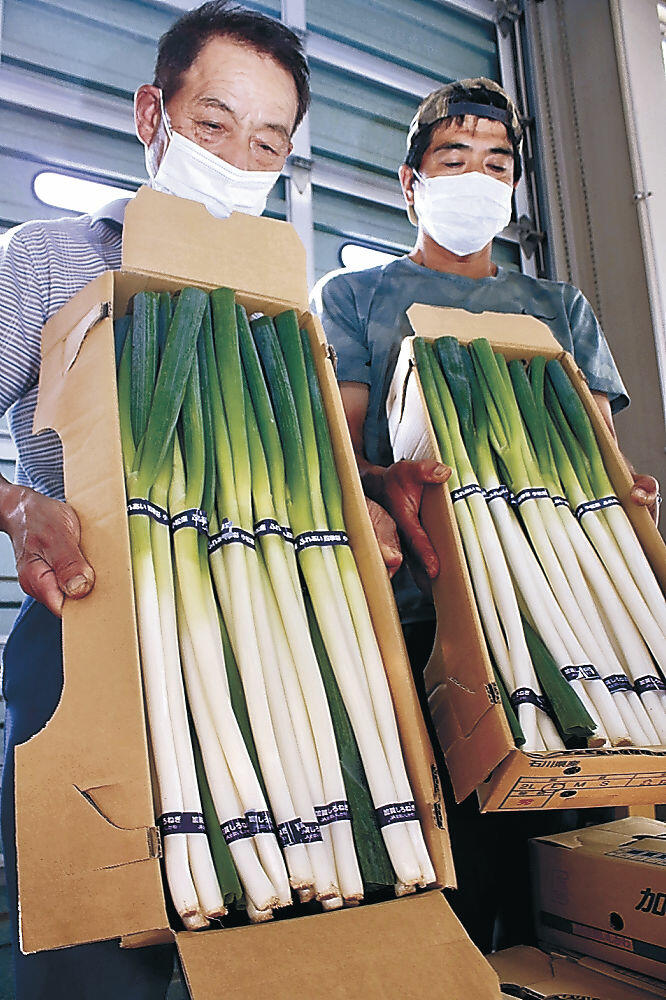 出荷が始まった小松産白ネギ=JA小松市野菜集出荷場