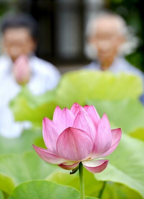 ピンクの花が美しい縄文ハス=10月9日、福井県小浜市国分