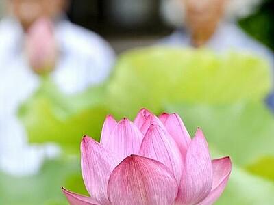「縄文ハス」今年もきれい 小浜市国分で開花