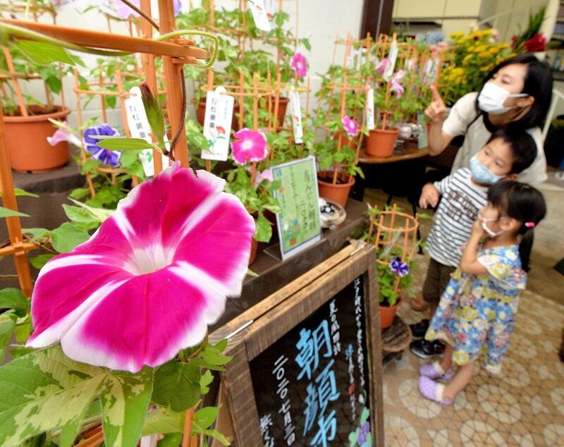 爽やかな雰囲気を醸し出すアサガオ=7月11日、福井市宝永3丁目のフラワーカドヤ
