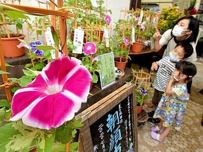 アサガオ鮮やか「夏の顔」 福井の生花店で催し