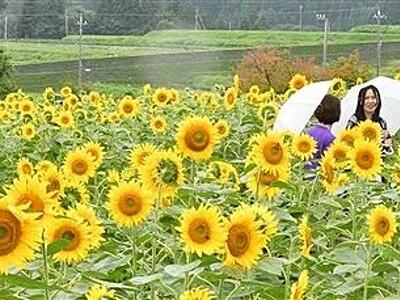 田園に太陽咲く 大野でヒマワリ見頃