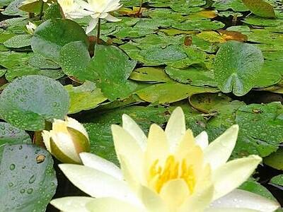 潤うスイレン水面彩る 勝山で黄や白、色とりどり