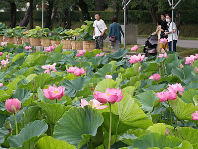 桃色のハス 城下染める 上越・高田城址公園「観蓮会」