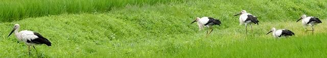 すくすく元気に育つコウノトリの幼鳥4羽(右)=7月17日、福井県越前市安養寺町