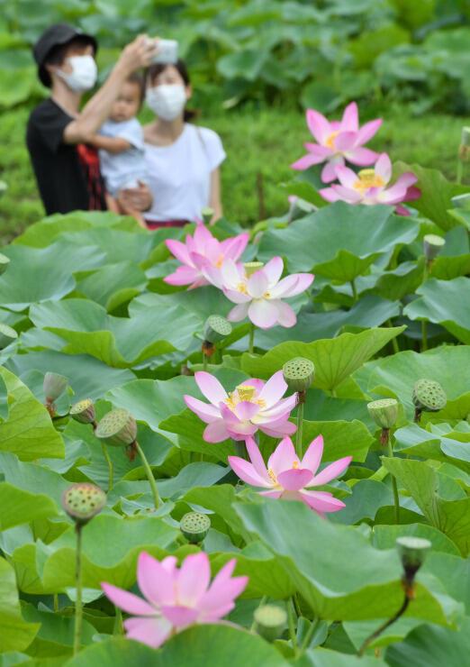 稲泉寺で咲いた鮮やかなピンク色のハス=22日、木島平村穂高