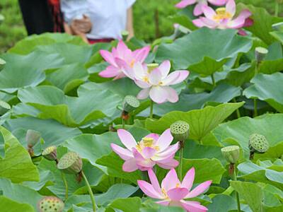 鮮やか花開くハス 木島平村の稲泉寺