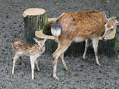シカの赤ちゃん命名「スガル」 富山市ファミリーパーク
