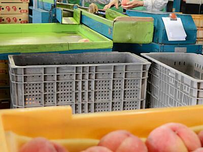 台風や長雨乗り越え「大きさ十分」 長野で桃の本格出荷