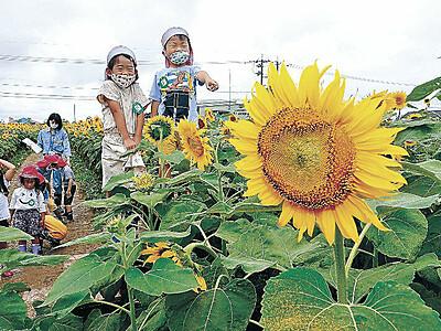35万本の迷路散策 「ひまわり村」開村