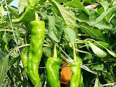 輝く緑の甘トウガラシ 福井の嶺南地方、特産化へ試験栽培 量、味に自信