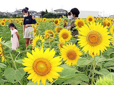 夏色満開 ヒマワリ17万本見頃