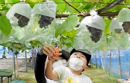 一足早くブドウ狩りを楽しむ子どもたち=8月5日、福井県越前市中山町の観光農園「どんぐり山」
