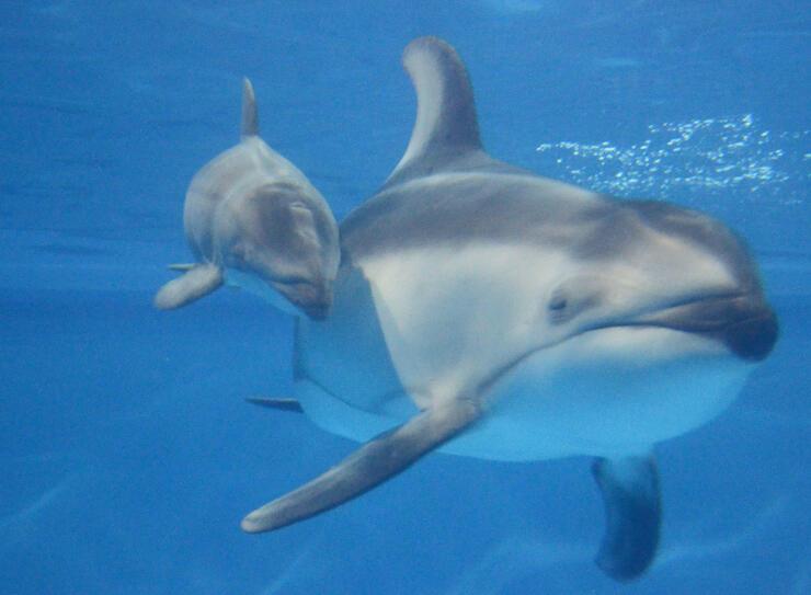 出産直後に親子で泳ぐカマイルカ(マリンピア日本海提供)