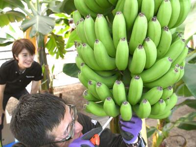 雪国発「越後バナーナ」いかが 柏崎・温室で栽培、初収穫