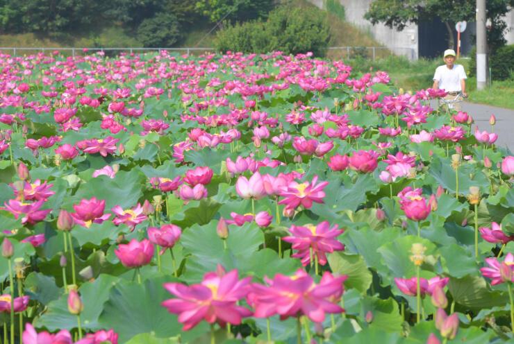 安曇野市豊科高家の休耕田で鮮やかな花が見頃となったハス