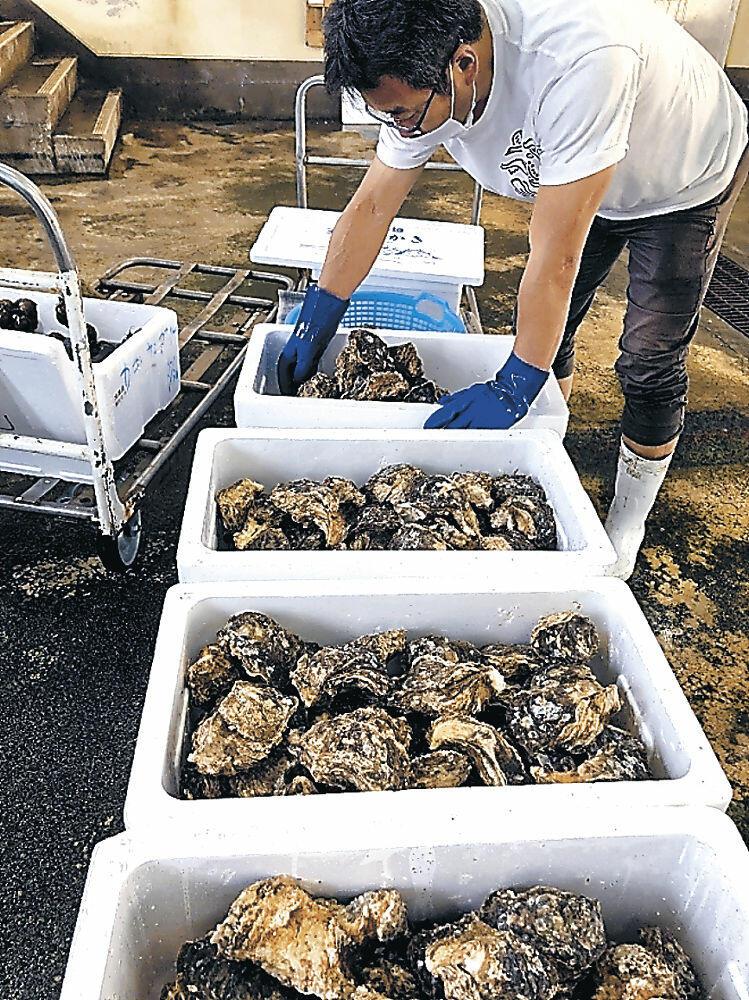 土曜魚市で販売される柴垣天然岩ガキを準備する担当者=羽咋市の県漁協柴垣支所