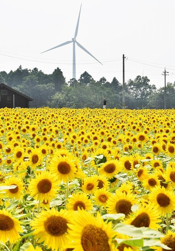 大きな風車の羽根がゆっくりと回る中、まぶしい黄色の花を咲かせるヒマワリ=福井県あわら市北潟