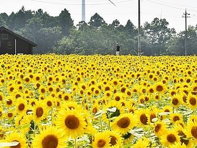 ヒマワリと風車、夏の景色 福井県あわら市