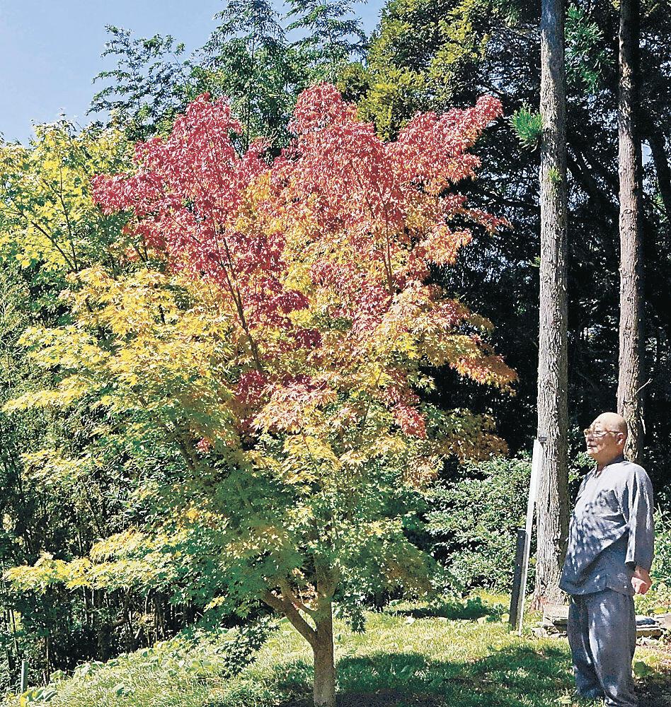 早くも色づき始めたモミジ=七尾市小島町の本行寺