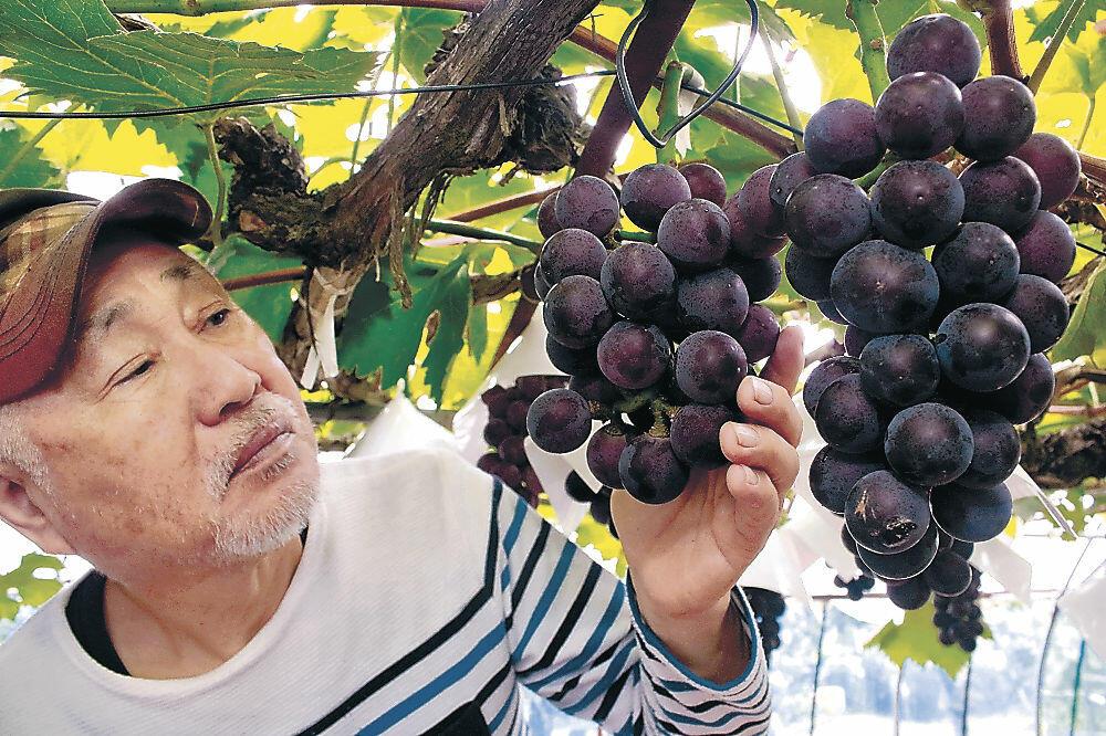 たわわに実った藤稔を収穫する橋本さん=小松市正蓮寺町