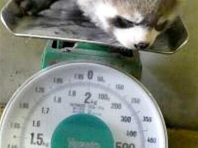 赤ちゃんレッサーパンダ、すくすく成長 鯖江・西山動物園