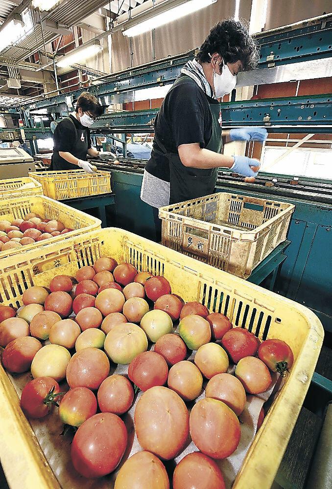 トマトの出荷準備を進める関係者=小松市のJA小松市野菜集出荷場