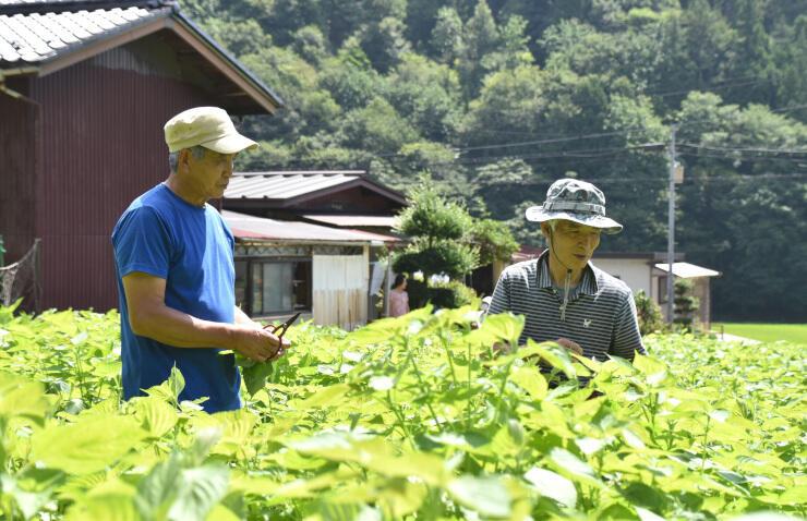 エゴマの葉を摘み取る古村さん(右)と浦野さん
