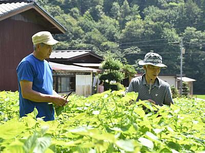 エゴマ栽培農家広がって 辰野で葉摘み無料体験