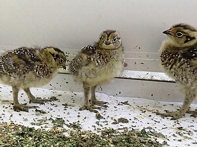 ライチョウひな すくすく ふ化2週間、雄3羽・雌5羽