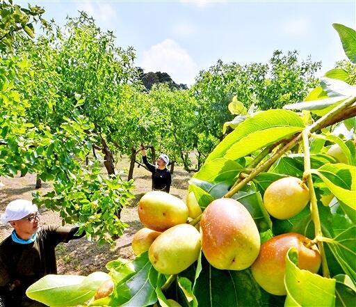赤茶色に色づき、収穫を待つナツメ=8月21日、福井県福井市小幡町