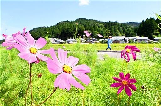 厳しい残暑の中、かれんな花を咲かせたコスモス=8月23日、福井県永平寺町松岡宮重