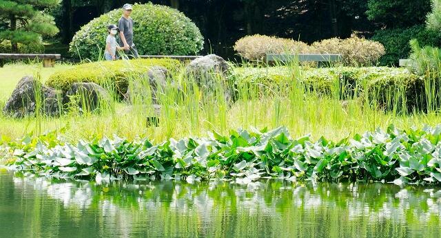 池の浅瀬に群生するコウホネ(手前)=福井県坂井市の県総合グリーンセンター