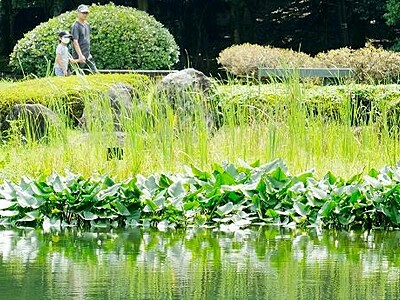 コウホネ気軽に見て 福井県準絶滅危惧種が群生