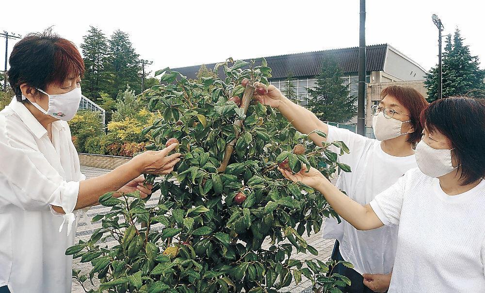 茶色になったツバキの実の成熟具合を確認する安宅代表(右から2人目)らメンバー=野々市市野々市中央公園