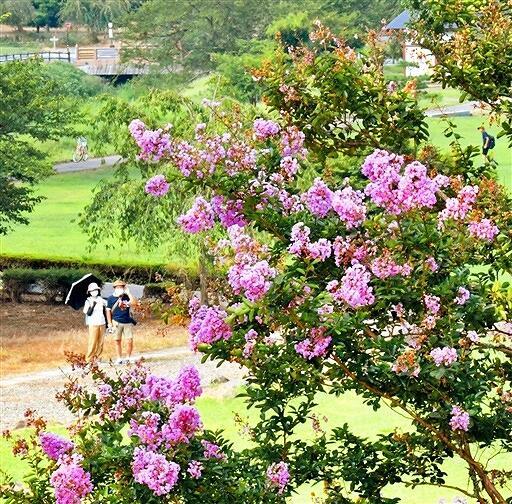 薄桃の花を咲かせ、厳しい残暑が続く遺跡を彩るサルスベリ=8月25日、福井県福井市の一乗谷朝倉氏遺跡