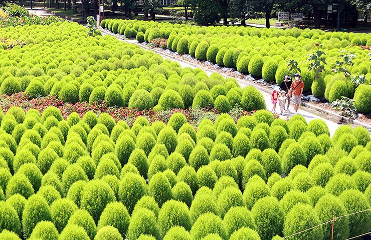 緑まぶしいコキアが一面に広がる砺波チューリップ公園