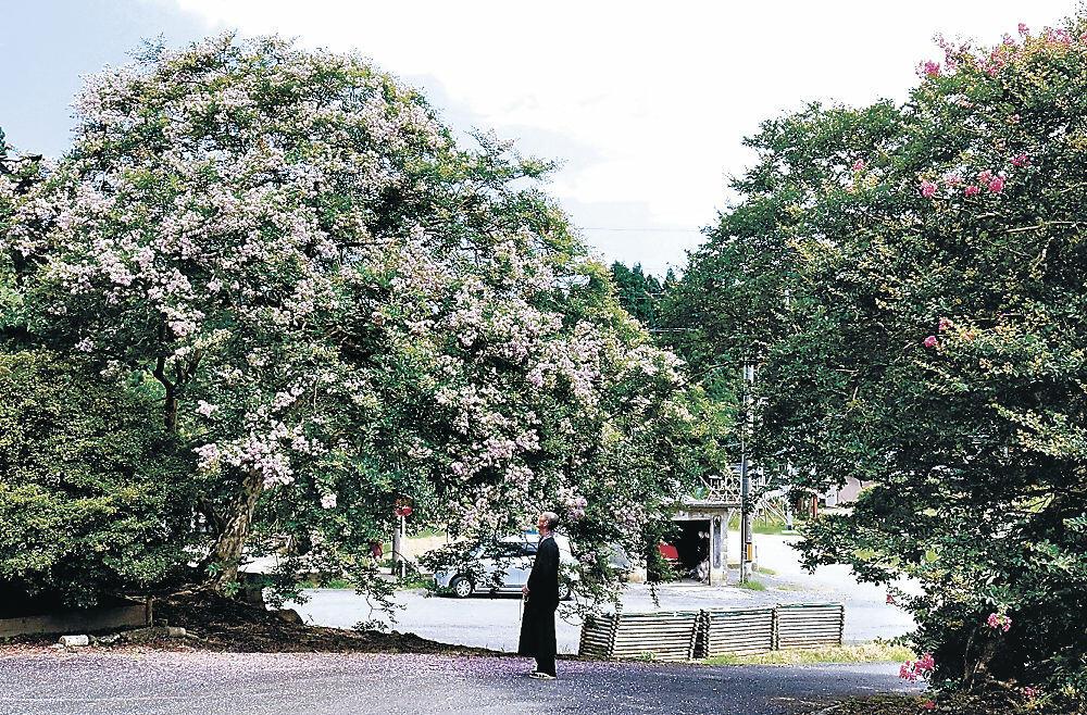 見頃を迎えているサルスベリの大木=輪島市門前町栃木の徳善寺