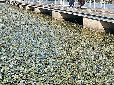 オニビシ生息域拡大 小松・木場潟 再生プロジェクトが奏功