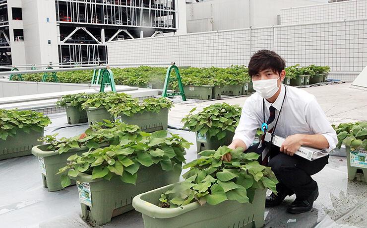 富山市民プラザ屋上でサツマイモの生育状況を見守る海老江さん