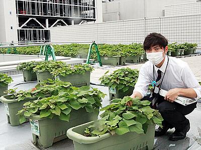 サツマイモすくすく 富山市民プラザ屋上で栽培