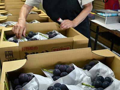 露地ブドウ、粒は大きめ 須坂共選所で出荷始まる