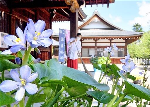 参拝者の心を和ませているミズアオイ=8月31日、福井県福井市毛矢3丁目の藤島神社